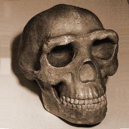 homo-erectus_255x255