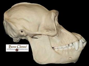 Chimpanzee (Pan troglodytes); source: