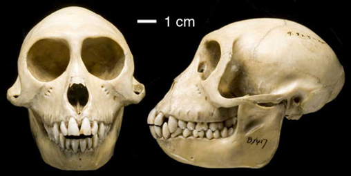 Rhesus monkey (Macaca rhesus); source: