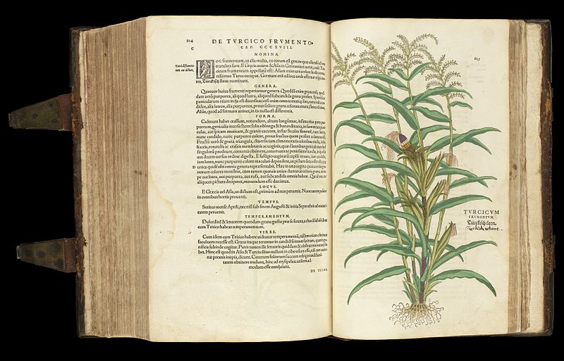 "Source: De Historia Stirpium Commentarii Insignes {""Notable Commentaries on the History of Plants"") is a book by Leonhart Fuchs on herbal plants published in Basel in 1542. http://commons.wikimedia.org/wiki/File:Turcicum_plant,_from_%27De_historia...%27_Wellcome_L0051254.jpg"
